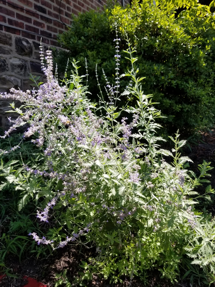 Russian-Sage-in-repose-