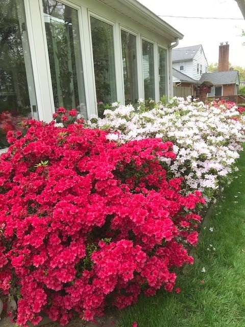 lovely-azaleas