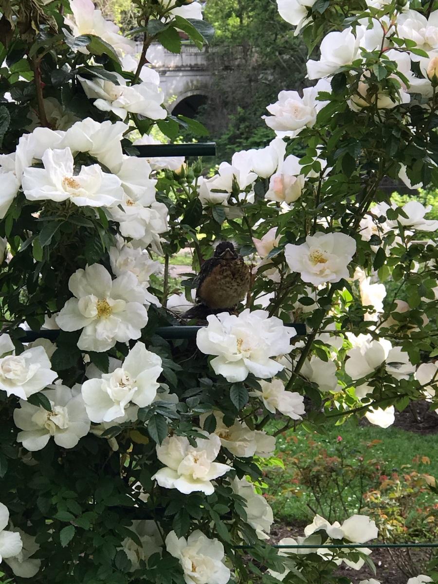 Public-Garden-Jasper-Crane-Rose-Garden-1