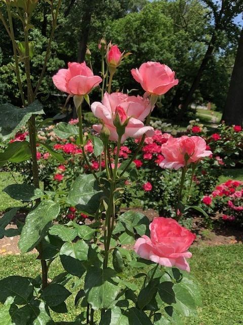 Public-Garden-Jasper-Crane-Rose-Garden-2