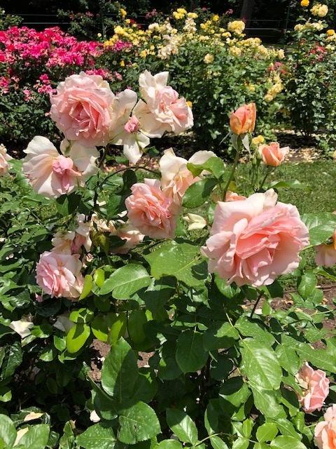 Public-Garden-Jasper-Crane-Rose-Garden-3
