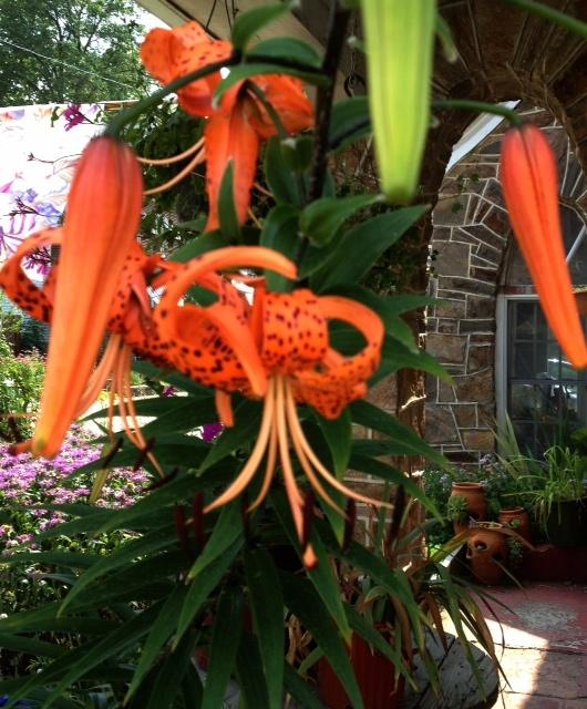 Orange-Tiger-Lily-2012