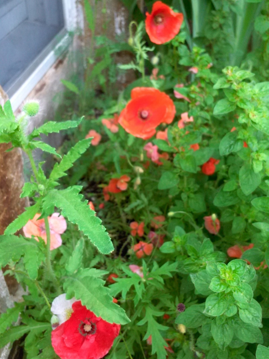 Poppies-Front-Bed