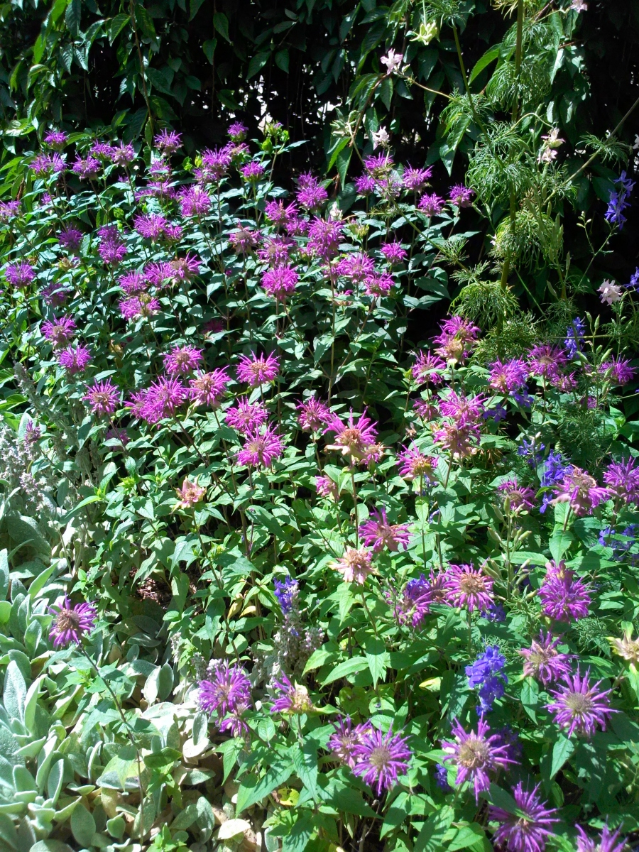 Purple-Bee-Balm-2016-2